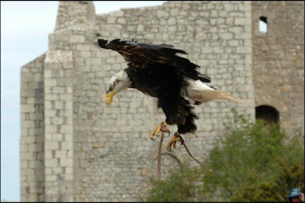 Spectacle de fauconnerie: rapace en vol libre, normandie, paris